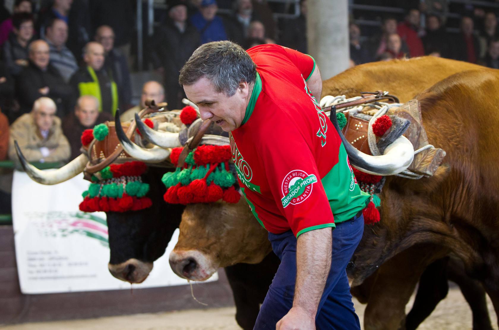 Una competició, amb el pastor esperonant els animals